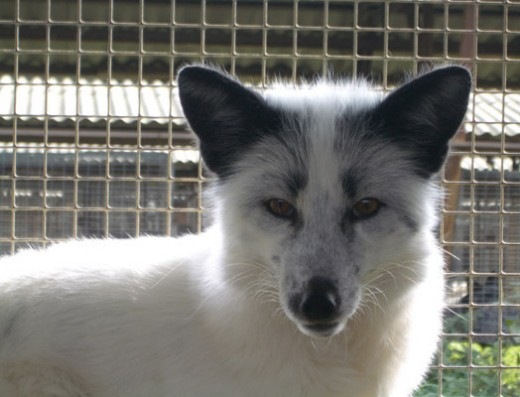 Domesticated variety of silver fox