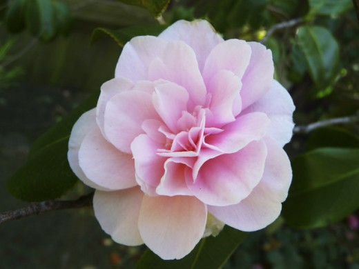A delicate pink for this Camellia