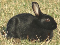 What can be good name for a black pet rabbit ?