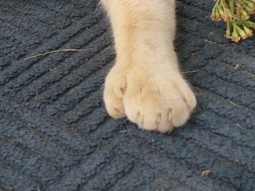 One of Dados' seven clawed paws.