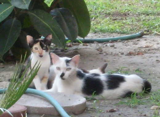 Mamacita and her two kittens try to beat the sweltering heat - I watered the ground so they could cool off.