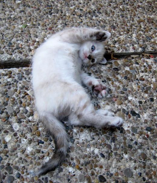 One kitten for Precious - cutest little kitty