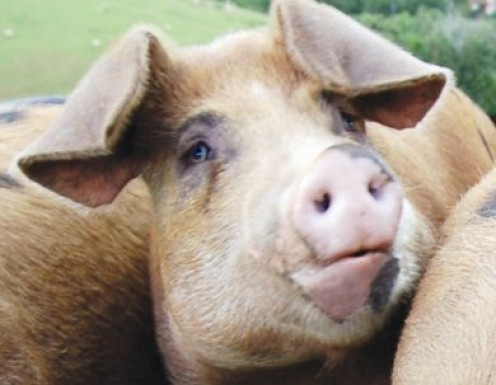 Poor Porky