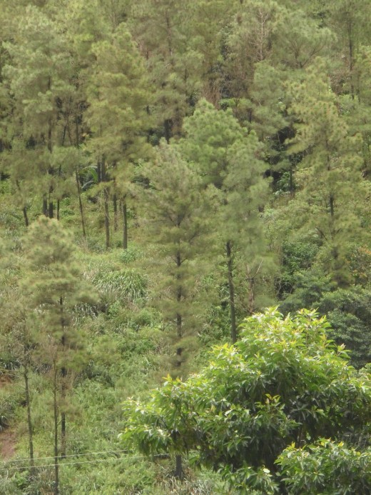 Not native to Saint Lucia, these Caribbean pines were planted to stabilize the slopes of the caldera.