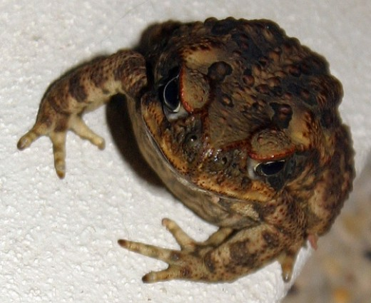The cane toad, Bufo marinus, this individual looks particularly sour