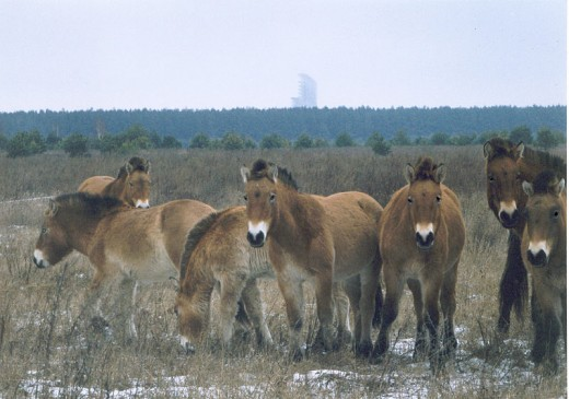 The Chernobyl area is now home to a herd of endangered Przewalski's horses, 280 different birds and 50 endangered species!