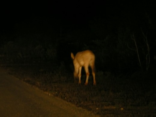 Wild donkey at night.