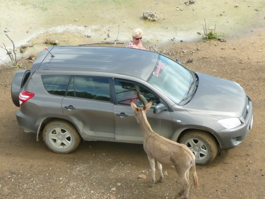 Even if you stay in your car the donkeys want to be near you!
