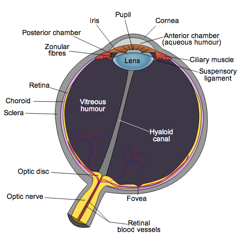 The Wonderful Human Eye