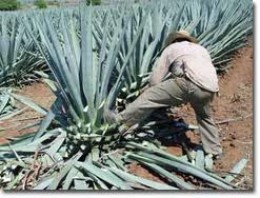 pic of harvesting of agave plant