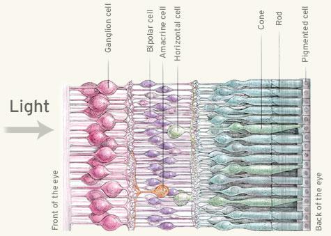 The three layers of the retina.