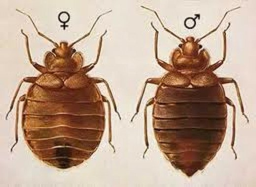 Male and Female bed bugs