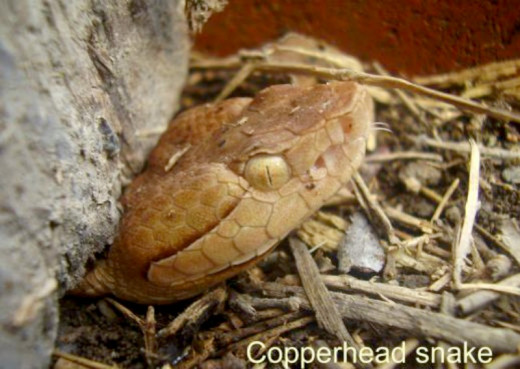Close-up of a copperhead. Notice the slit-shaped pupils.