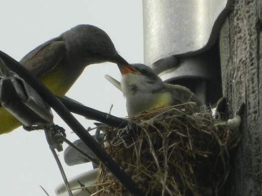 Western Kingbird Feeding the Nestlings