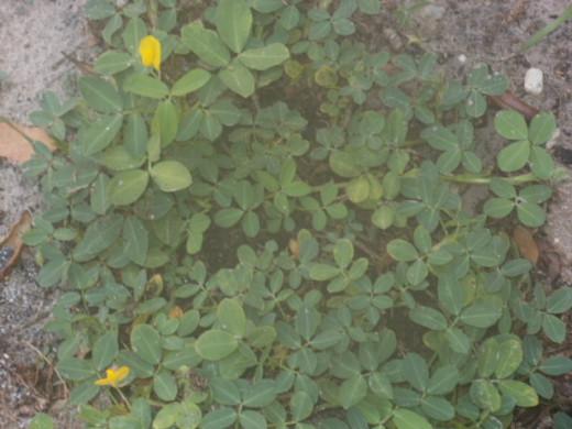 Perennial Peanut.  See the block in my soil?  Aarrrgh!