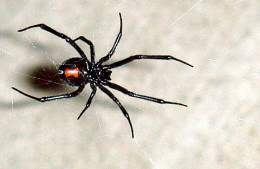 The Black Widow Spider Is The Only Poisonous Spider Native To Maryland