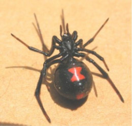 Large Black Widow Female