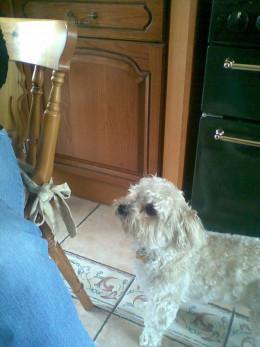 Alfie, a Yorkie-Poo