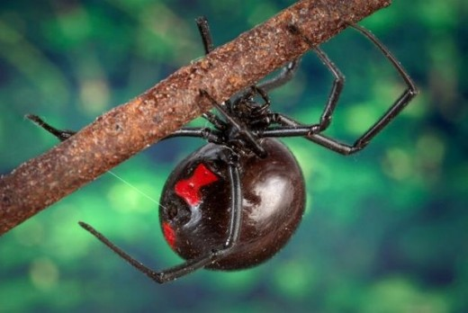 Black widow spiders are common in North Carolina.