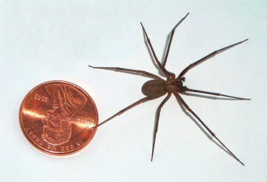 The brown recluse spider Is smaller than most people realize. Notice it beside the penny.