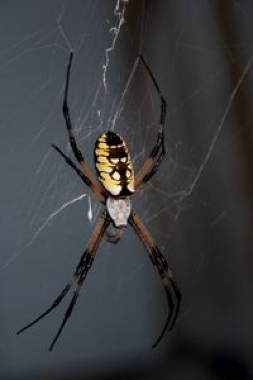 Carolina writing spider (golden silk orb weaver)