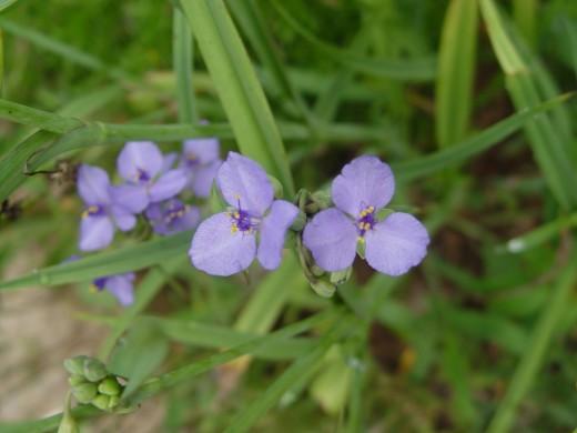 Spider wort Flower