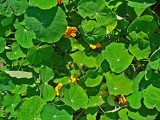 Nasturtium plants can be used as live mulch!