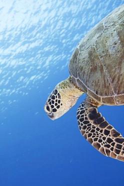 Turtle in Tubbataha Reef, Philippines