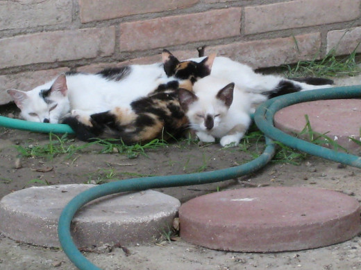 Mamacita and her two kittens on a swelteringly hot day.