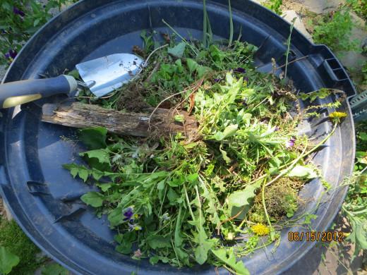 Pulled weeds!
