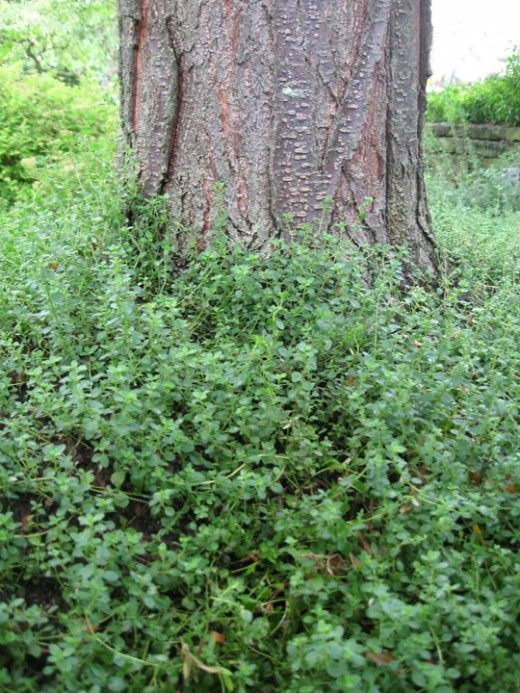 Thyme is an excellent ground cover.