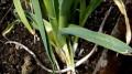 How to Grow Everlasting Leeks
