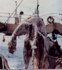 New Zeland Plesiosaur?  Japanese Discovery 1977