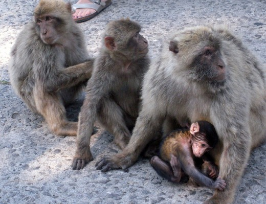 A shot of the Barbary Monkeys by someone who is unfortunately not me. Damn cameras.