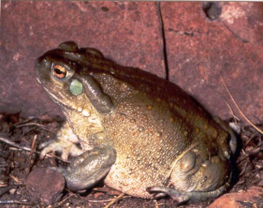 The psychoactive Colorado River toad