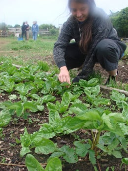 Weeding a bed of spinach and strawberries - companion plants.