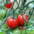 Patio Tomatoes: Grow Delicious Tomatoes in Pots