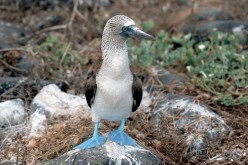Blue Footed Boobies: the Magnificent Seabirds
