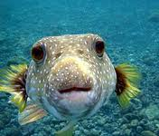 THIS FISH TASTE JUST LIKE FLOUNDER AND WHEN TAKEN OUT OF WATER IT BLOWS UP LIKE A BALLOON.