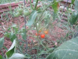 Oh, my do we actually have a few red cherry tomatoes?