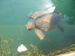 Rare loggerhead turtle in Argostoli harbour