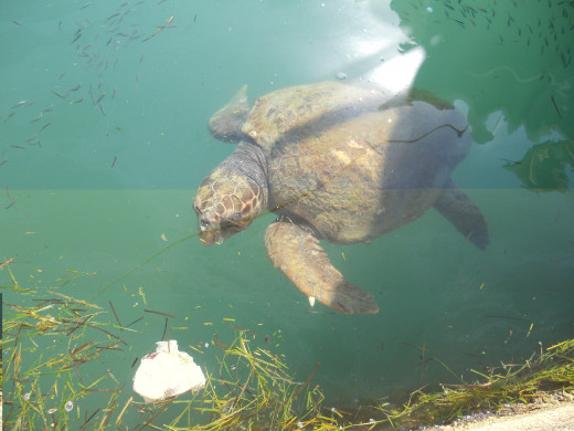 Rare loggerhead turtle in Argostoli harbour