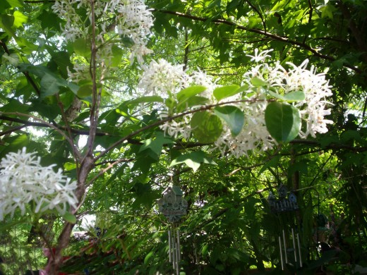 Bearded Grandpa. One of my prize trees that I so love! I adorn it with chimes that give joy even when you can't see it.