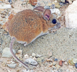 I am not a church mouse; I am called a Cactus Mouse.  Living in the grand open-air cathedral of the desert.