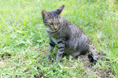 A self-reliant outdoor cat that would just as soon take your toe off as play with a catnip mouse.