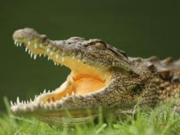 crocodile smuggled in sports bag escaped, caused panic among passengers and crew, resulting in plane crash killing pilot and 19 others (The Telegraph, Oct. 21, 2010)