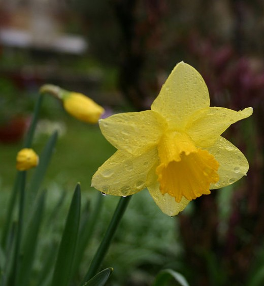 Daffodils are so pretty! ...And poisonous!