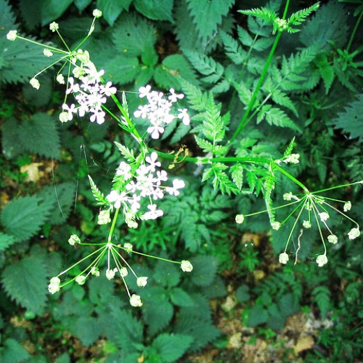 Poisonous Flowering Fool's Parsley