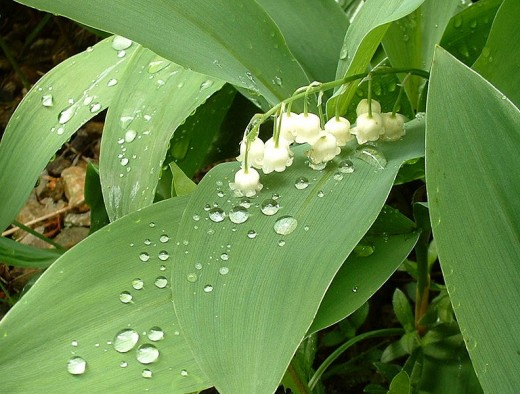Lily of the Valley can be toxic