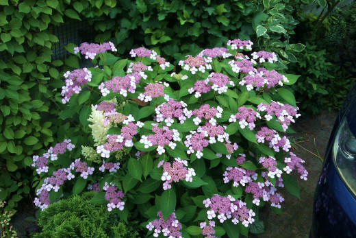 hydrangea serrata bluebird photo